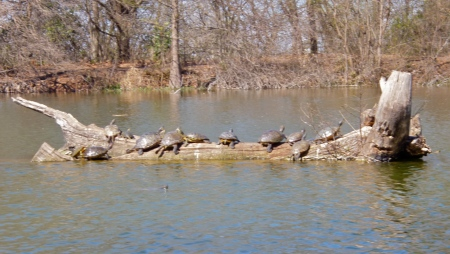 Turtles sunning on a log